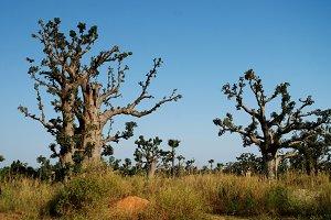 Baobab forest, Senegal