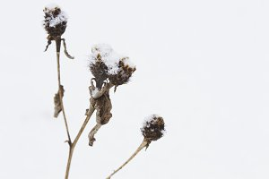 Withered thistle in the snow.