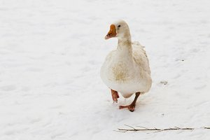 Walking white goose winter