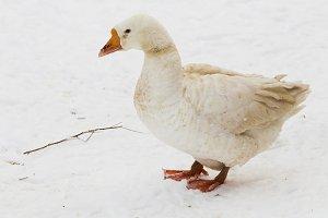 White goose on snow background.