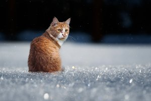 Red cat under the snow. Winter, cold,