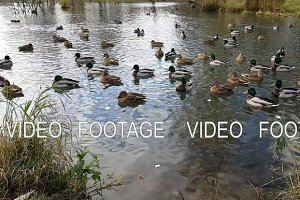 Wild ducks and geese swimming in the autumn pond
