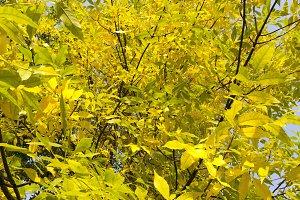 yellow foliage of ash