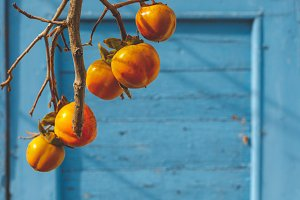 Yellow Persimmon ripens on a tree in autumn on a blue wooden background. Agricultural Agriculture