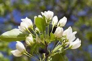 Flowers of apple