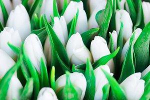 Fresh green tulips