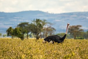 Ostrich walking in Lake Nakuru National Park, Kenya