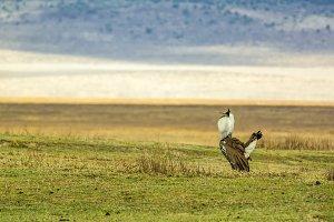 Male Kori bustard in mating display