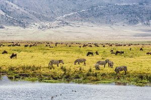 Herds of wildebeests and zebras