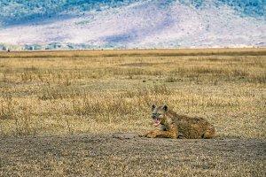 Spotted hyena growling Ngorongoro Crater, Tanzania