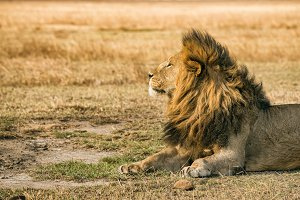 Lion resting in the Ngorongoro Crater