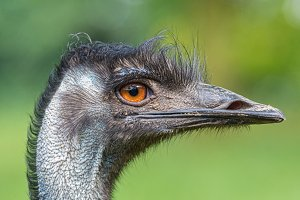 Portrait of Australian Emu