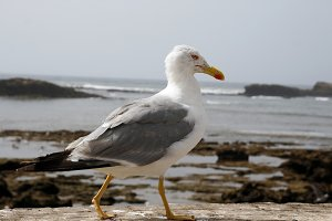 Seagull in profile