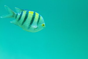 striped fish in warm exotic waters