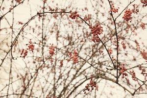 berries, branches Autumn