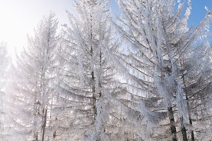 A frozen pine wood in winter.