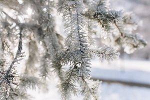A frozen pine branch in winter.
