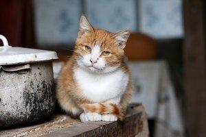 Redhead cat