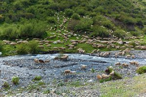 Flock of sheep grazing in a hill on a green meadow, Israel