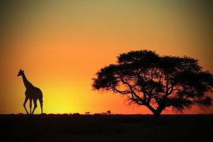 Giraffe Silhouette - Animal Wonders