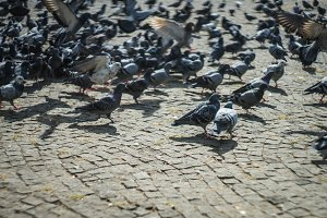 Pigeons on the city square