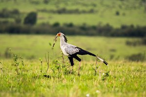 Secretary bird in the savannah of Kenya, Africa