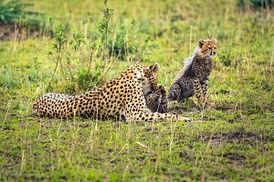 Cheetah mother with two cubs playing on savanna