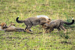 Three cheetah cubs playing on savannah