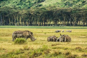 White rhinoceros in Lake Nakuru National Park, Kenya