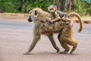 Olive baboon mother with its baby walking on the street