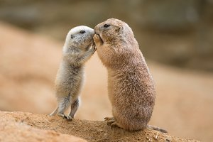 Adult prairie dog and a baby sharing their food