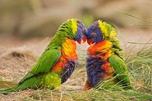 Rainbow lorikeets in fight