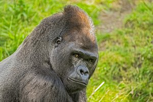 Big western lowland gorilla