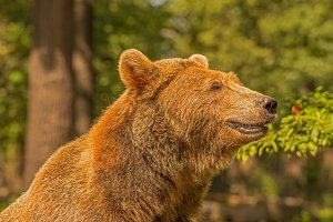 Brown bear close-up