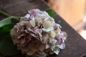 Pink hydrangea laying on wooden table