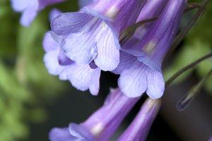 Blue Trumpet Flowers