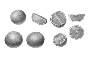 Oranges Pencil Drawing Black & White