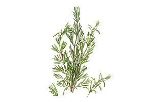 Rosemary Pencil Drawing Isolated