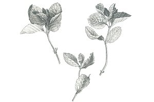 Black and White Mint Illustration