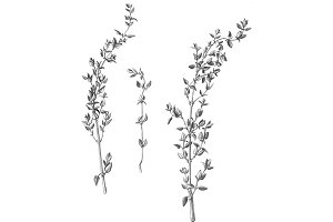 Thyme Stems & Leaves Pencil Drawing