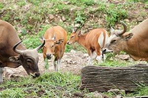 gaur feeding grass.
