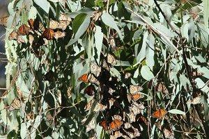 Monarch Butterflies in California