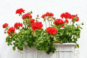 Red Pelargonium flowers.