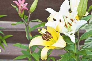 blooming lilies in the garden