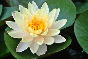 Beautiful blooming yellow water lily