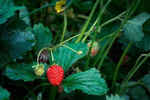 Red ripe strawberry