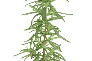 rosemary twig isolated on white background close-up