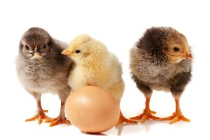 three cute little chicken with egg isolated on white background
