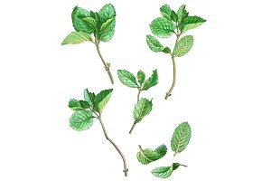 Mint Leaves & Stems Pencil Drawing