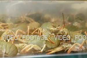 Live crayfish in aquarium. Crawfish in water